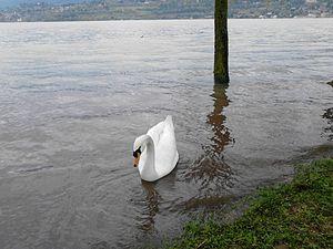 Bosisio Parini - Swan in the Lake of Pusiano