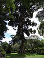 Botanical Garden of Peradeniya 32.JPG