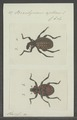Brachycerus - Print - Iconographia Zoologica - Special Collections University of Amsterdam - UBAINV0274 029 02 0019.tif