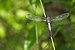 Brachydiplax chalybea male on Kadavoor.jpg