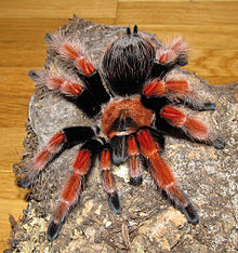 https://upload.wikimedia.org/wikipedia/commons/thumb/c/c6/Brachypelma_boehmei_-_female_ahead.jpg/220px-Brachypelma_boehmei_-_female_ahead.jpg