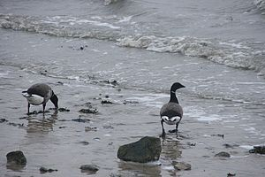 Brant (goose) - Wintering at the Wadden Sea, Germany