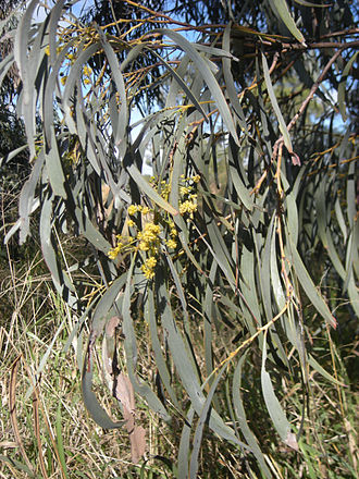Acacia harpophylla - Image: Brigalow leaves and blossom