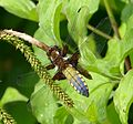 Broad-bodied Chaser. Libellula depressa - Flickr - gailhampshire (12).jpg