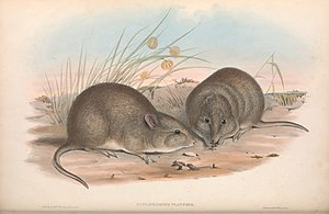 Broad-faced potoroo - Image: Broad Faced Potoroo