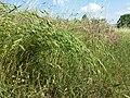 Bromus secalinus subsp. decipiens sl3.jpg