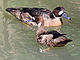 Bronze-winged Duck pair RWD.jpg