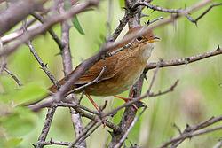 Brown Bush-Warbler (Locustella luteoventris) (8077170366).jpg