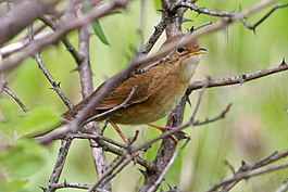 Brown Bush-Warbler (Locustella luteoventris) (8077170366).jpg