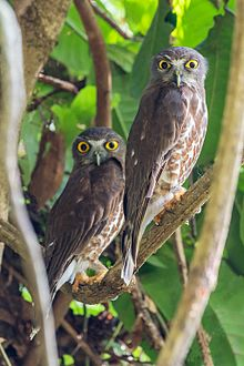Brown hawk-owls couple