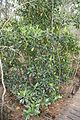 Bruguiera gymnorrhiza habit1.jpg