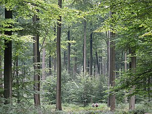 Subboreal - Stand of beech trees in the Sonian Forest near Brussels, Belgium