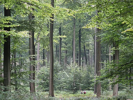 Even, dense old-growth stand of beech trees (Fagus sylvatica) prepared to be regenerated by their saplings in the understory, in the Brussels part of the Sonian Forest. Brussels Zonienwoud.jpg