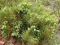 Bryonia verrucosa Tenerife 1.jpg