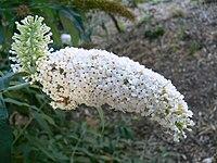 Buddleia albifloraFL Lille
