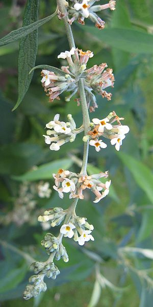 Rachis - The inflorescence of Buddleja paniculata is arranged along a central rachis