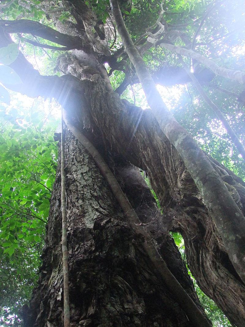 Aree protette ugandesi: la Foresta di Budongo è rinomata per l'elevato numero di alberi di mogano.