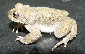 Description de l'image Bufo surdus02.jpg.