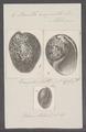 Bulla ampulla - - Print - Iconographia Zoologica - Special Collections University of Amsterdam - UBAINV0274 091 07 0005.tif