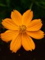 Bunga Kenikir.png