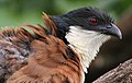 Burchell's Coucal, Centropus burchelli- a study at Kruger National Park, South Africa (13829345914).jpg