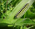 Burnet moth caterpillar (18457483670).jpg