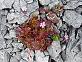 Burren Flora 09 Herb Robert (3585299223).jpg