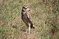 Burrowing Owl Pine Gulch Marin CA 2018-09-26 13-09-14 (44998855034).jpg