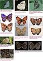 Butterflies of Garhwal, Uttarakhand, western Himalaya, India 2.jpg