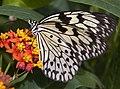 Butterfly 8s (5663020854).jpg