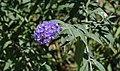 Butterfly Bush NBG LR.jpg