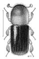 COLE Curculionidae Xyleborinus sp.png