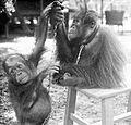 COLLECTIE TROPENMUSEUM De West-Borneo orang-oetans 'Poetat' en de jonge 'Jacob' West-Borneo TMnr 10006644.jpg