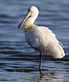 CSIRO ScienceImage 10362 Yellowbilled Spoonbill.jpg