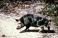 CSIRO ScienceImage 1515 Feral pig.jpg