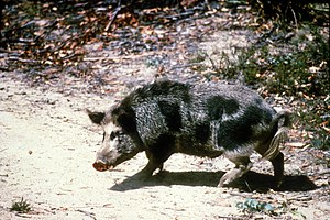 CSIRO ScienceImage 1515 Feral pig.jpg