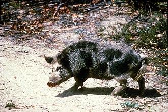 Feral pig - Feral pig