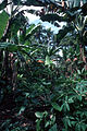CSIRO ScienceImage 2402 Tropical Foliage.jpg
