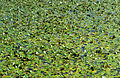 CSIRO ScienceImage 4151 Floating pondweed in supply channel Murrumbidgee Irrigation Area Griffith NSW.jpg