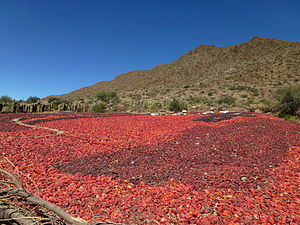 Capsicum - Red peppers in Cachi (Argentina) air-drying before being processed into powder