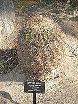 Cactaceae-compass barrel.jpg