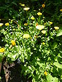 Calendula officialis 'Marigold' (Asteraceae) plant.JPG