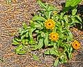 Calendula officinalis - Ringelblume.jpg