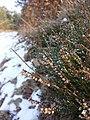 Calluna vulgaris sl20.jpg