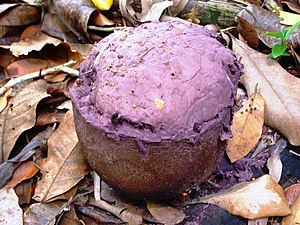 Puffball - Calvatia cyathiformis