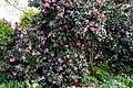 Camellia 'November Pink' at RHS Garden Hyde Hall, Essex, England 01.jpg
