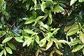 Camellia reticulata in Auckland Botanic Gardens 02.jpg