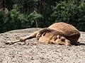 Camelus dromedarius - Serengeti-Park Hodenhagen 2017 03.jpg