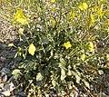 Camissonia multijuga 3.jpg