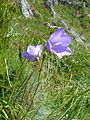 Campanula persicifolia (massif des Vosges).jpg